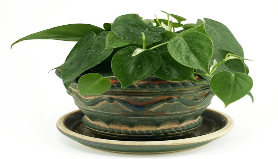 091514_shutterstock_27564055_philodendron_OS
