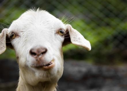 Goat Rental: An Eco-Friendly Lawn Maintenance Solution