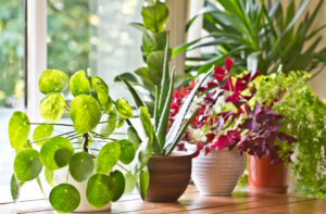 Choosing the right household plants can improve your home's air quality.